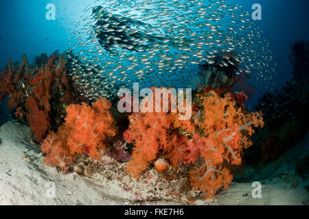 Diver in a school of glassy sweepers in gorgonian fans and soft corals in the reef. - Stock Photo