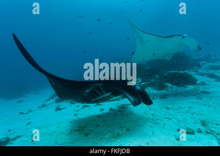 A parade of giant manta rays (Manta birostris) at a cleaning station. - Stock Photo