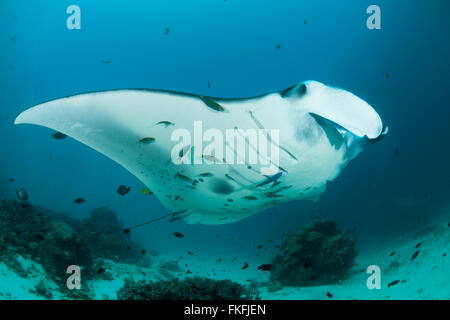 Giant manta rays (Manta birostris) at a cleaning station. North Raja Ampat, West Papua, Indonesia - Stock Photo