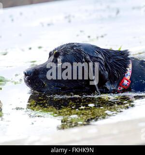 black labrador retriever swimming - Stock Photo