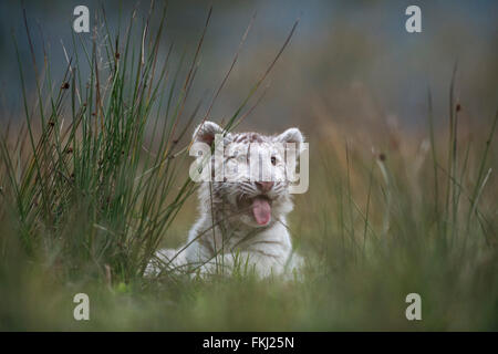 Bengal Tiger / Koenigstiger ( Panthera tigris ), cute white cub, rests, lies hidden behind a bush of grass, panting - Stock Photo