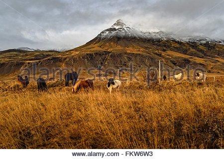 Icelandic ponies grazing near mount Esja, Reykjavik, Iceland - Stock Photo
