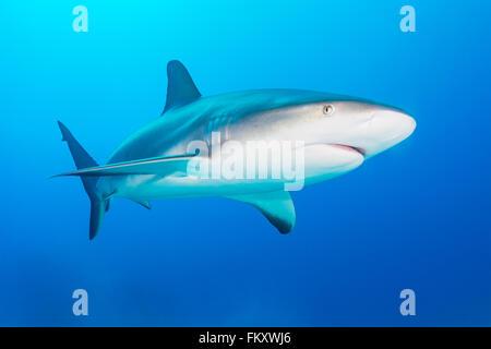 Grey reef shark swimming towards the camera in the Bahamas. December - Stock Photo
