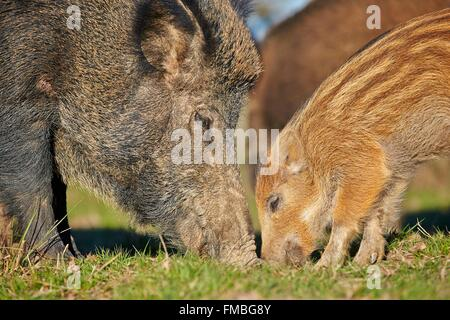France, Haute Saone, Private park, Wild Boar (Sus scrofa), sow and babies (piglets) - Stock Photo