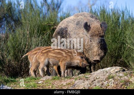 France, Haute Saone, Private park, Wild Boar (Sus scrofa), male with piglets - Stock Photo