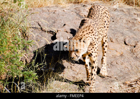 Cheetah - Namibia - Stock Photo