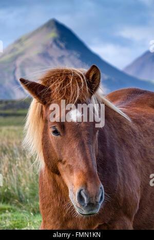 Icelandic Horse, backed by Dramatic Icelandic Scenery, near Hofn, Southern Iceland - Stock Photo