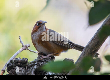 Rusty Cheeked Scimitar Babbler Perched - Stock Photo