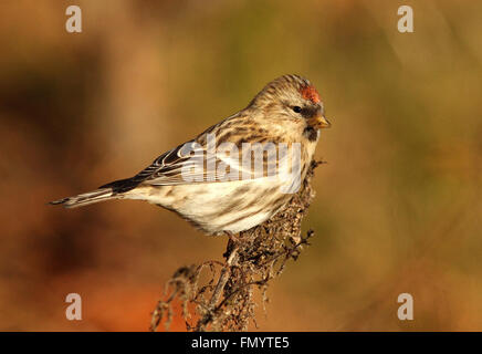 Redpoll (Acanthis flammea) - Stock Photo