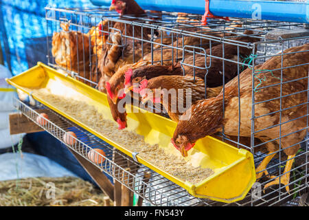 Red chickens in cell section eating feed. - Stock Photo