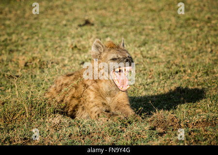 Spotted Hyena, Crocuta crocuta, yawning with mouth wide open, showing his teeth, Masai Mara National Reserve, Kenya, - Stock Photo