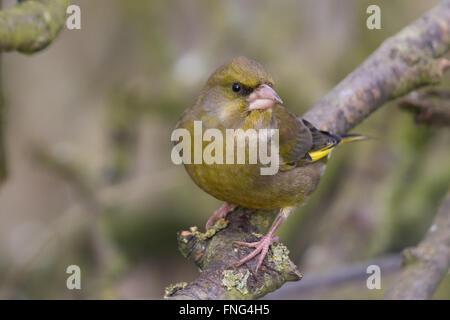 male European Greenfinch (Carduelis chloris) - Stock Photo
