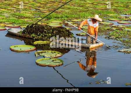 Pantaneiro cleaning the water with Victorian water lilies (Victoria regia), Porto Joffre, Pantanal, Mato Grosso, - Stock Photo