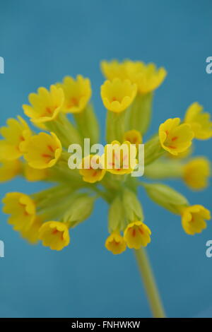 An English cowslip (primula veris) in full bloom in Derbyshire, UK - Stock Photo