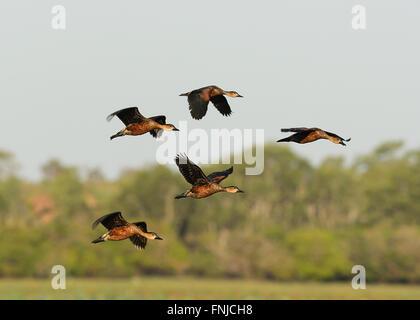 Plumed Whistling-ducks (Dendrocygna eytoni), Mamukala Wetlands, Kakadu National Park, Northern Territory, Australia - Stock Photo