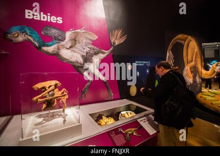 (160315) -- NEW YORK, March 15, 2016 (Xinhua) -- A visitor looks at dinosaur fossils during the 'Dinosaurs Among - Stock Photo