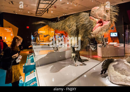 (160315) -- NEW YORK, March 15, 2016 (Xinhua) -- A visitor looks at the model of the 23-foot-long dinosaur 'Yutyrannus - Stock Photo