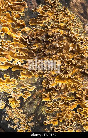Fungi growing on a fallen Oak tree trunk in woodland around Durham, England. Possibly (Stereum gausapatum), Bleeding - Stock Photo