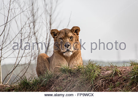 Lioness looking directly at camera - Stock Photo