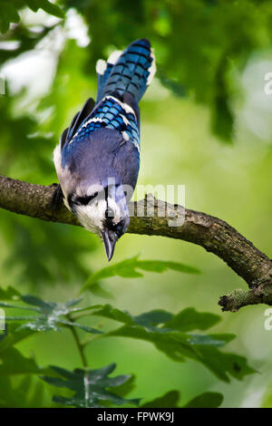 Blue Jay perched on a tree branch close up portrait. - Stock Photo
