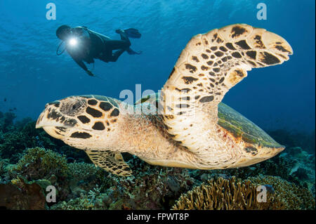 A diver swims over a Komodo reef with a hawksbill sea turtle off of Indonesia. - Stock Photo