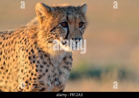 Young cheetah (Acinonyx jubatus), alert, in the evening light, Kgalagadi Transfrontier Park, Northern Cape, South - Stock Photo