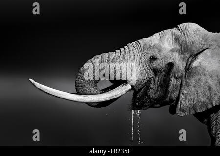 Elephant bull with large tusks drinking water. Close-up portrait with side view in Addo National Park - Stock Photo