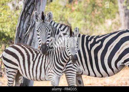 Mother and foal plains or Burchells zebra (Equus quagga burchellii), Sandibe Camp, by the Moremi Game Reserve, Okavango - Stock Photo