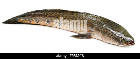 Channa marulius or Giant Snakehead known as gozar fish in Bangladesh - Stock Photo