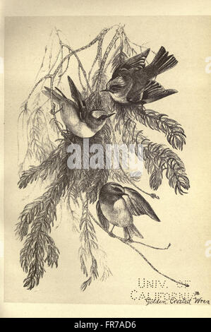 Birds from Moidart and elsewhere (Plate 39) - Stock Photo
