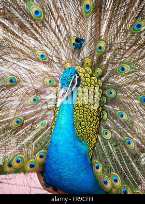 Male blue peacock (Pavo cristatus) displaying with its tail raised - Stock Photo