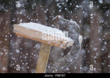 Grey Squirrel (Sciurus hudsonicus) in winter storm - Stock Photo