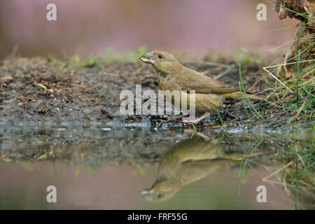 Common Crossbill / Fichtenkreuzschnabel ( Loxia curvirostra ), female bird, sits next to a pond in the midst of - Stock Photo