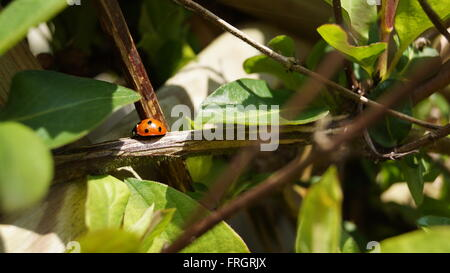 Harlequin ladybird in sun spot on branch - Stock Photo