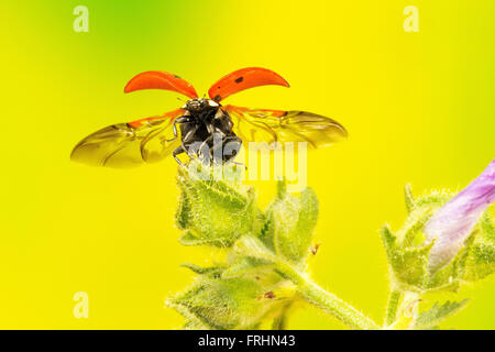 7 spot ladybird flying off a wild plant - Stock Photo