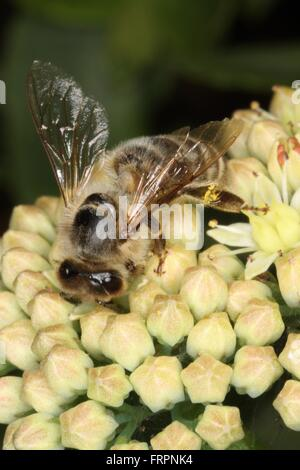 Honeybee on the flowers of Sedum album. This Sedum is often used as an ornamental plant and as cut flowers and as - Stock Photo