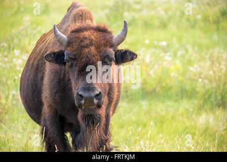 Closeup of a buffalo in Custer State Park in the Black Hills of South Dakota looking at the camera - Stock Photo