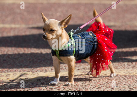 New Brighton, Wallasey, UK 25th March, 2016.  Dog's Fancy Dress. A 3/4 cross Chihuahua, a tiny toy dog, inappropriately, - Stock Photo