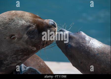 Sea lions, Iquique, Tarapaca, Chile - Stock Photo