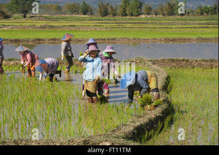 Women working in the rice paddy fields near Kyaing Tong, Kentung, Shan State, Myanmar, Burma - Stock Photo