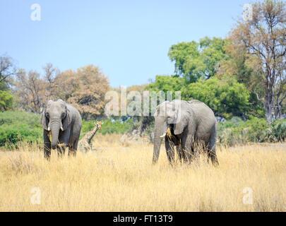 Two African bush elephants (Loxodonta africana) eating grass, and giraffe, grassland landscape, Sandibe Camp, Moremi - Stock Photo