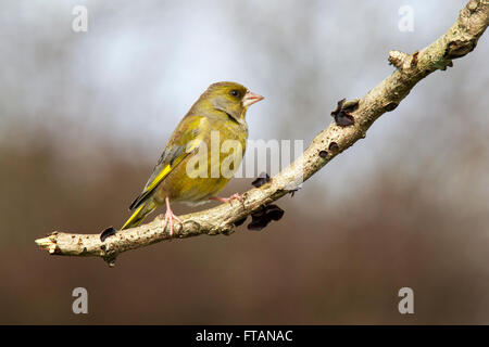 European Greenfinch Carduelis chloris adult perched - Stock Photo