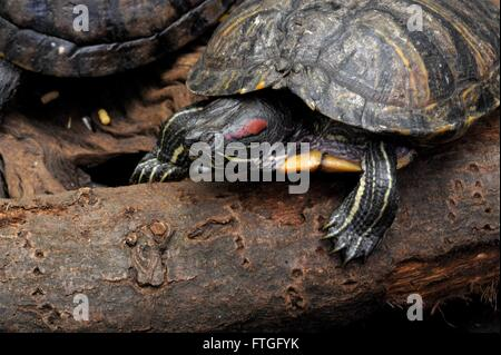 Yellow-bellied Slider, Yellow Belly Terrapin, - Stock Photo