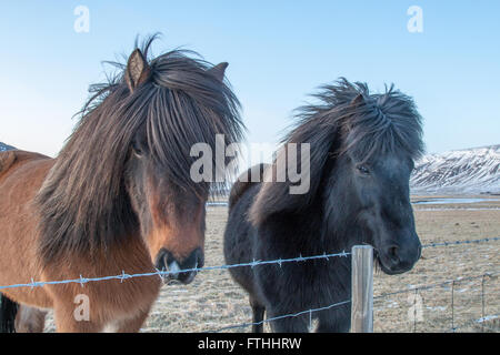 Two Icelandic ponies looking over a fence surrounded by snowy mountains - Stock Photo