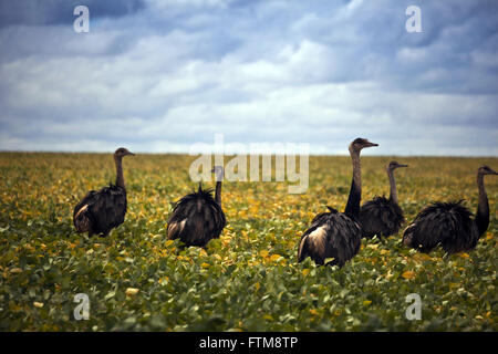 Flock of emus looking for insects in soybean plantation in the savannah - Rhea americana - Stock Photo