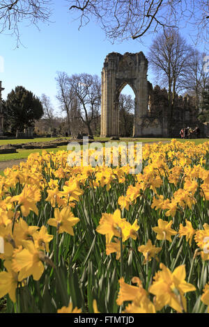 St Mary's Abbey and daffodils in the Museum Gardens, York, North Yorkshire, England, UK. - Stock Photo