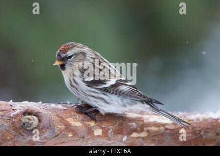 Common Redpoll (Acanthis flammea) in winterclimate - Stock Photo