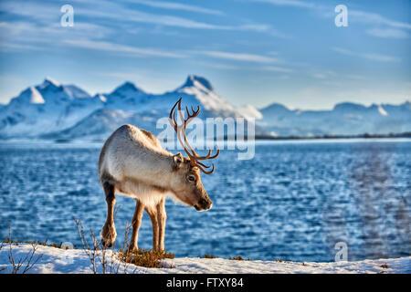 Reindeer, Rangifer tarandus, at sea with mountain landscape on the island Senja, Troms, Norway, Europe - Stock Photo
