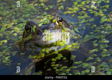 Common Frog (Rana temporaria) in Spring - Stock Photo
