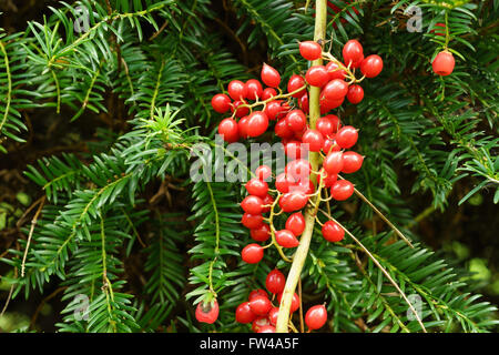 Red honeysuckle berries on a creeper over a yew tree. - Stock Photo
